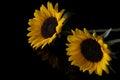 Yellow Sunflower Isolated On B...