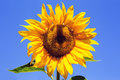 yellow sunflower over blue sky. Royalty Free Stock Photo
