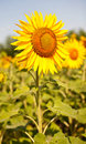 Yellow sunflower on the perfect field see my other works in portfolio Royalty Free Stock Images