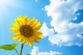 Yellow sunflower in the sun against sky Royalty Free Stock Image