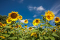 Yellow sunflowers. Royalty Free Stock Photos