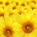 Yellow sunflowers Royalty Free Stock Photo