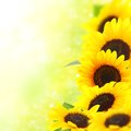Yellow sunflowers beautiful with a blurred background Royalty Free Stock Photography