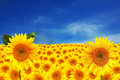 Yellow Sunflowers on a Deep Blue Sky Royalty Free Stock Photography