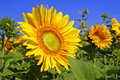 Yellow sunflowers on a field Royalty Free Stock Images