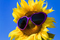Yellow Sunflowers with Heart Sunglasses Royalty Free Stock Photo