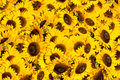Yellow sunflowers in a sunny day Stock Image