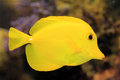 Yellow surgeon fish Royalty Free Stock Photo