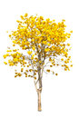 Yellow tabebuia flower on white background Stock Image