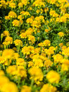 Yellow tagetes field close up Royalty Free Stock Image