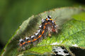 Yellow tail moth euproctis similis caterpillar profile larva of in the family erebidae formerly lymantriidae covered with Stock Photos