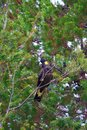 Yellow-tailed black cockatoo sitting in a tree Royalty Free Stock Photo