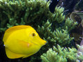 Yellow tang Stock Image