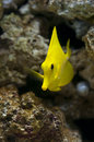 Yellow tang in aquarium zebrasoma flavescens is a saltwater fish Royalty Free Stock Photography