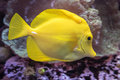 A Yellow Tang Fish Royalty Free Stock Photo