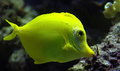 Yellow tang fish one in aquarium Royalty Free Stock Photography