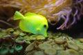Yellow tang marine fish zebrasoma flavescens underwater photography Royalty Free Stock Photos