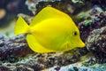 Yellow tang - Zebrasoma flavescens Royalty Free Stock Photo