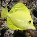 Yellow tang, zebrasoma flavescens - macro Stock Photo