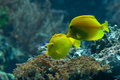 Yellow tangs (Zebrasoma flavescens) Royalty Free Stock Photo