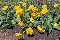 Yellow terry Dutch tulips blossom on a spring flower bed. Royalty Free Stock Photo