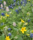 Yellow Texas Star And Bluebonnets In A Garden