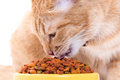 Yellow Thai Cat With Dry Food
