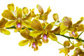 Yellow thai orchids this image contain clipping path the Stock Images