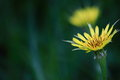 Yellow thistle flower the of a tall weed Stock Image