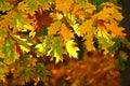 Yellow three leaves Royalty Free Stock Photo
