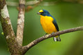 Yellow-Throated Euphonia Royalty Free Stock Image