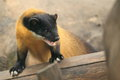 Yellow-throated marten Royalty Free Stock Photo