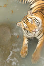 Yellow tiger in the swiming pool big Stock Image