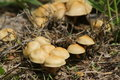 Yellow toadstools growing low macro next to a tree stump Royalty Free Stock Images