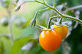 Yellow tomato Royalty Free Stock Photo
