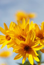 Yellow topinambur flowers (daisy family). Royalty Free Stock Image
