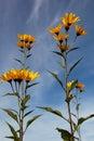 Yellow topinambur flowers daisy family against blue sky Royalty Free Stock Photo