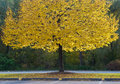 Yellow tree in a park Stock Photography