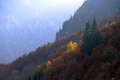 Yellow trees among the green firs in mountains Royalty Free Stock Photography