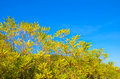 Yellow trees over blue sky Royalty Free Stock Images