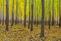 Yellow trees in a tree farm oregon forest on fall Stock Photo
