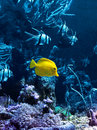 Yellow tropical fish in blue Royalty Free Stock Photo