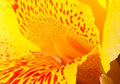 Yellow tropical flower with red dots in center. Canna lily stamen and petals macro photo. Royalty Free Stock Photo