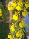 Yellow tropical orchids - vertical
