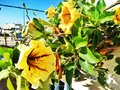 Yellow trumpet flower bush ornamental plants of morocco blossomed Stock Photography