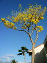 Yellow trumpet tree on the island of kauai Royalty Free Stock Images