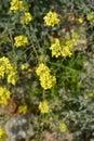 Yellow tuft Royalty Free Stock Photo