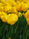 Yellow tulip Stock Image