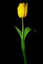 Yellow tulip on black Royalty Free Stock Photo