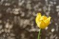 Yellow tulip closeup bokeh